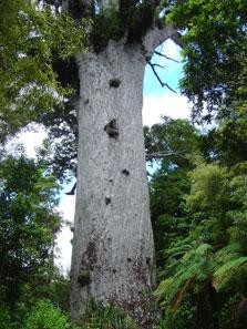 Tane Mahuta, Giant Kauri